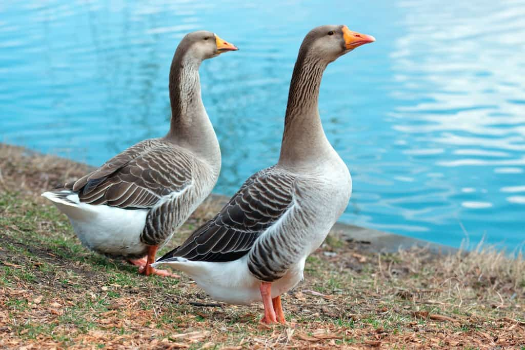 Why You Need A Geese Repellent